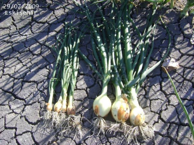 توازن الزراعي - بصل