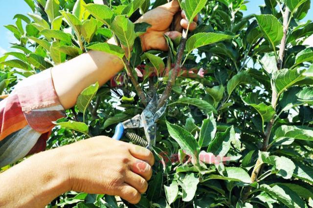 Dwarf Apple Plant