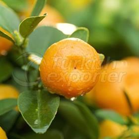 Mandarin W Murcott