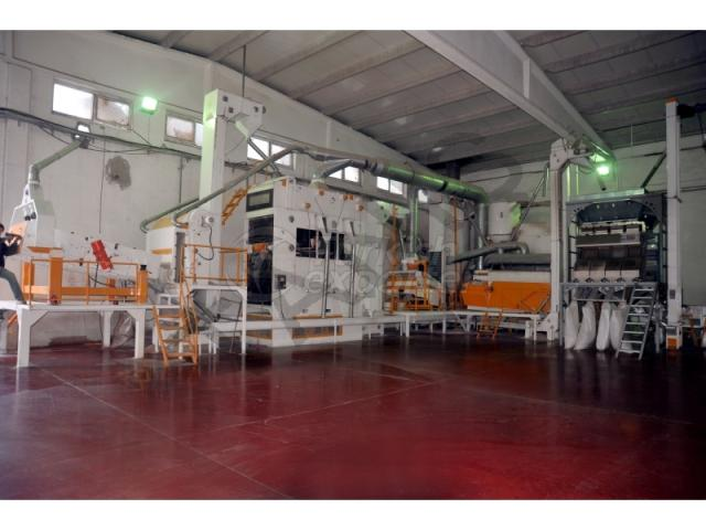 Sunflower Screening Plant - Turkey